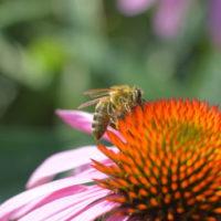 Nasiona dla pszczelarzy