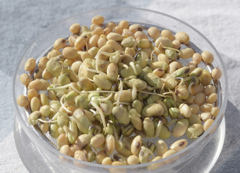Soja na kiełki bez GMO opakowanie 250g 1