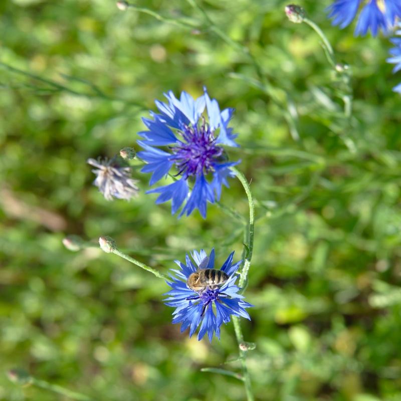 Chaber bławatek i pszczoła