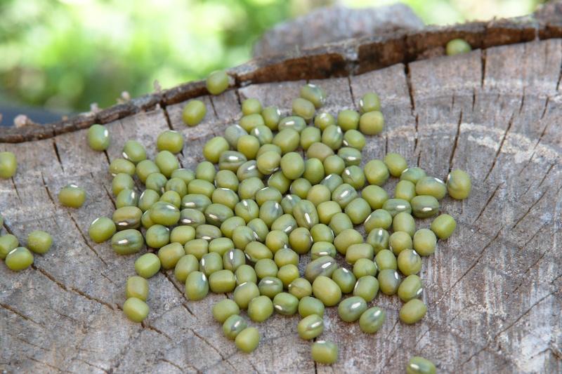 Nasiona fasoli mung