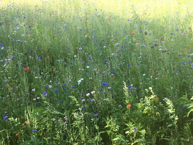 Jak dobrać rośliny na łąkę? 1