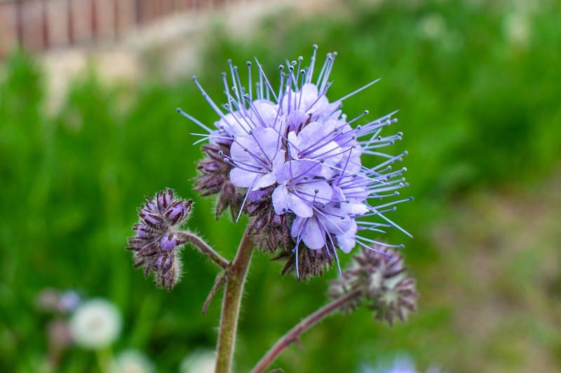 Facelia kwitnie na niebiesko