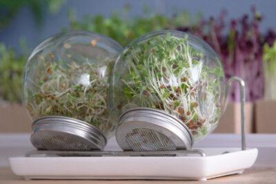 Kiełkownice słoikowe na podstawce ceramicznej