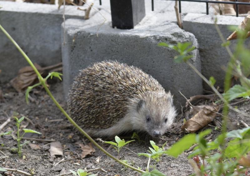 jeż w ogródku