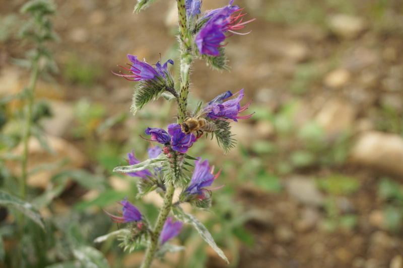 Żmijowiec i pszczoła