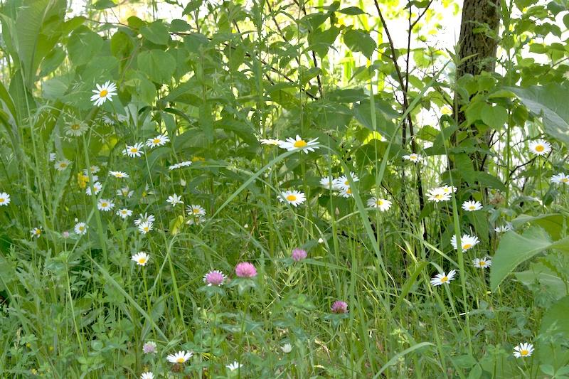 Jak dobrać rośliny na łąkę