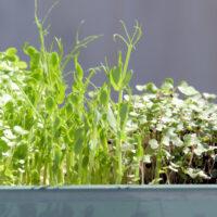 Mikroliście nasiona 100g i większe