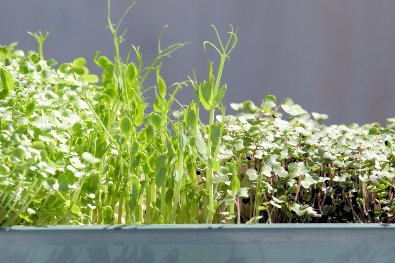 Czym się różnią nasiona na kiełki i mikroliście