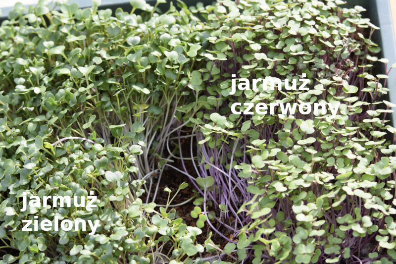 Jarmuż zielony i jarmuż czerwony porównanie microgreens