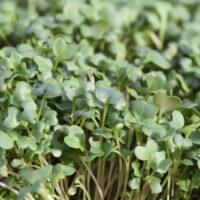 jarmuż zielony microgreens