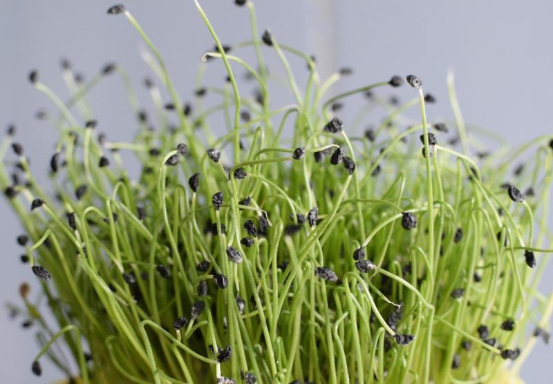 Nasiona pora na mikroliście