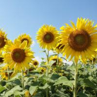 słonecznik nasiona poplonowe